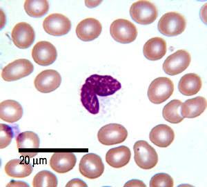 Monocyte