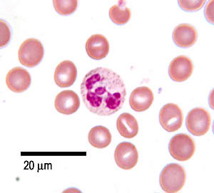 Histology Guide | Blood