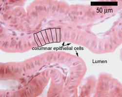 Histology Guide | Epithelia