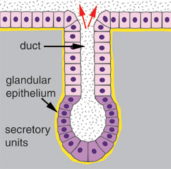 Image result for glandular epithelial tissue