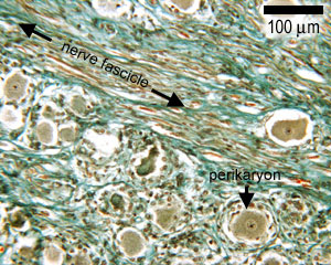diagram of a bladder the histology guide nerves  the histology guide nerves