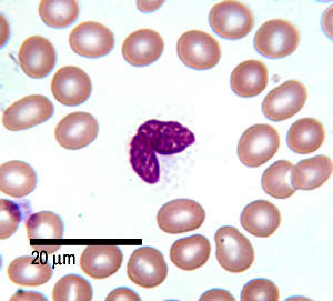 The Histology Guide | Blood