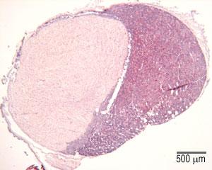 Glandular Tissue The Histology Guide