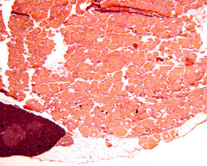 Glandular Tissue The Histology Guide