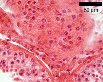 Histology guide male show labels ccuart Images