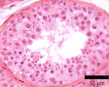 Histology guide male ccuart Images