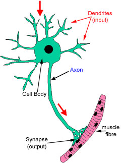 Histology guide nerves diagram of a neuron ccuart Image collections